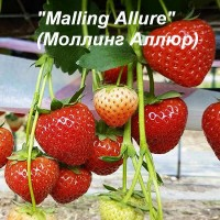Клубника «Malling Allure» (Моллинг Аллюр)