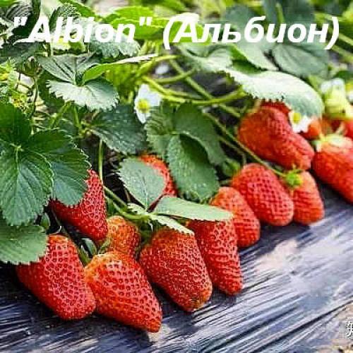 """Клубника """"Albion"""" (Альбион)"""
