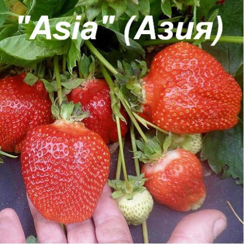 клубника азия купить рассаду в беларуси