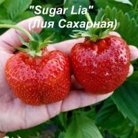 Клубника «Lia» (Лия)