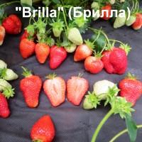 Клубника «Brilla» (Брилла)