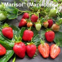 Клубника «Marisol» (Марисоль)