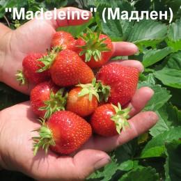 Клубника «Madeleine» (Маделейн)