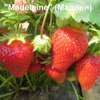 Клубника «Madeleine» (Мадлен)