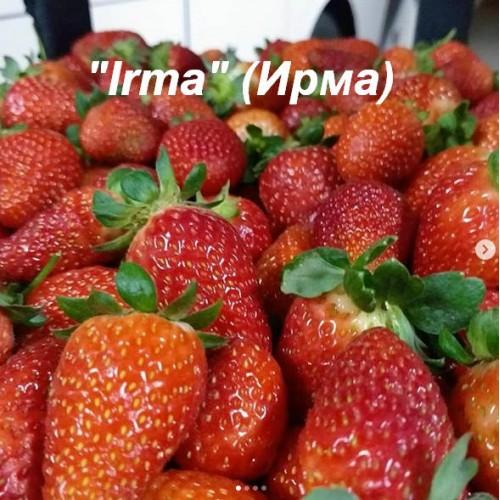 Клубника «Irma» (Ирма)