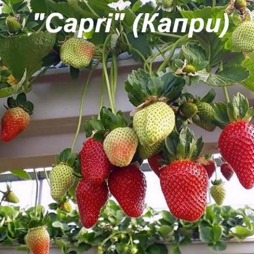 Клубника «Capri» (Капри)