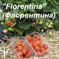 """Клубника """"Florentina"""" (Флорентина)"""