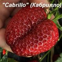 Клубника «Cabrillo» (Кабрилло)