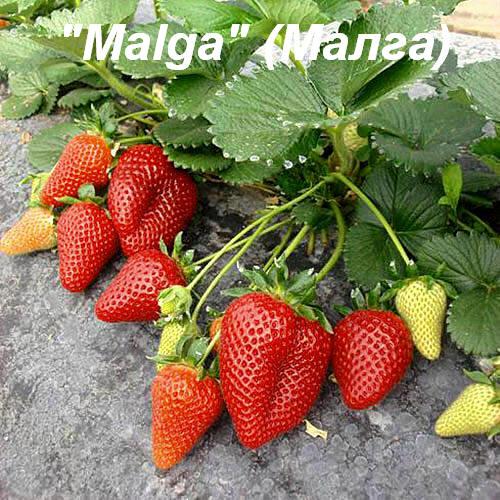 Клубника «Malga» (Малга)