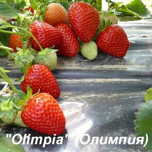 Клубника «Olimpia» (Олимпия)