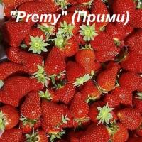 Клубника «Premy» (Прими)
