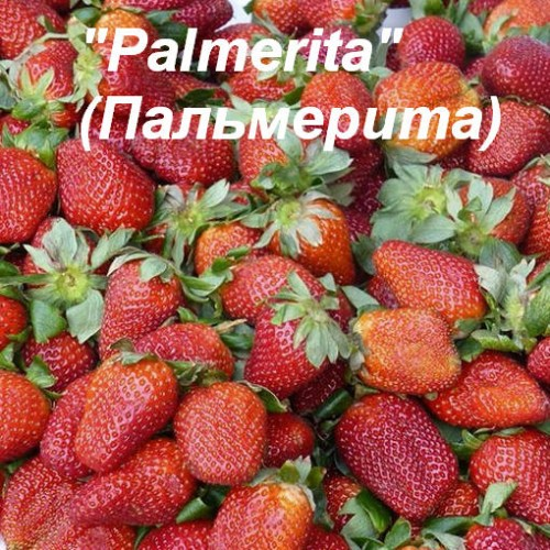 "Клубника ""Palmerita"" (Пальмерита)"