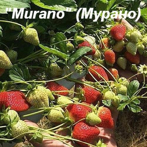 Клубника «Murano» (Мурано)