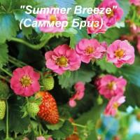 Клубника Summer Breeze