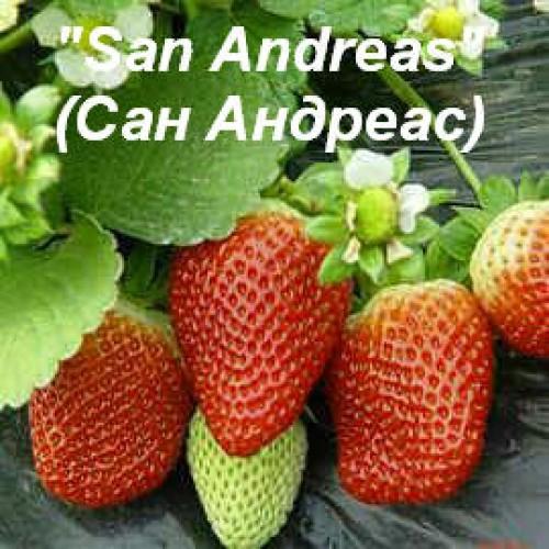 Клубника «San Andreas» (Сан Андреас)