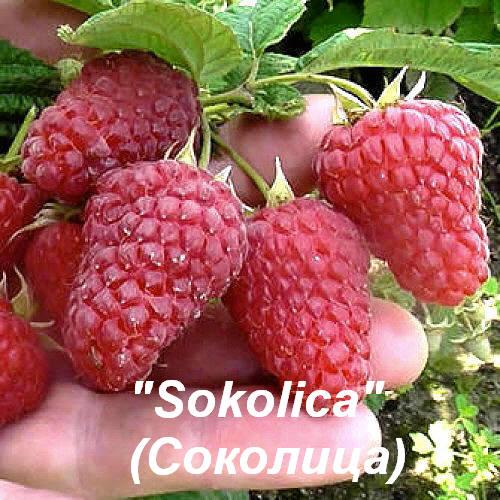 "Малина ""Sokolica"" (Соколица)"