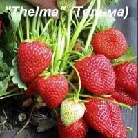 Клубника «Thelma» (Тельма)