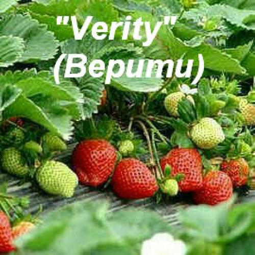 Клубника «Verity» (Верити)